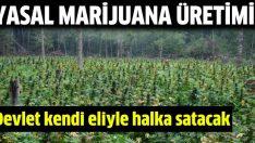 Devlet halka marijuana satacak!
