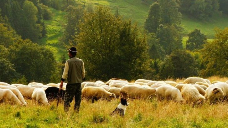 Danıştay'dan çobanlık dersi